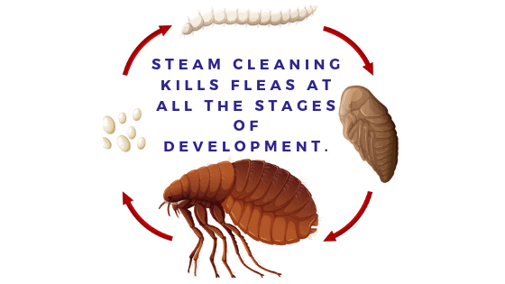 Does Steam Cleaning Kill Fleas and Their Eggs? | SCP